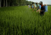 Workers spray insecticides in a paddy field in Punjab | Amit Bhargava/Bloomberg News