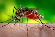 Female Aedes aegypti mosquito, the species of mosquito primarily responsible for the spread of the Zika virus disease