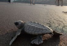 Olive Ridley turtle | Commons