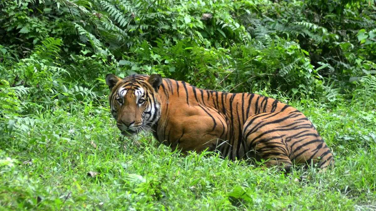 Tiger shot dead in India after allegedly killing 14 people