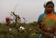 A cotton farmer in Vidarbha, Maharashtra