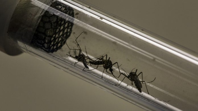 Aedes aegypti mosquitoes in a test tube | Dado Galdieri/Bloomberg