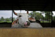 A cow shelter in Madhya Pradesh | Anindito Mukherjee/Bloomberg